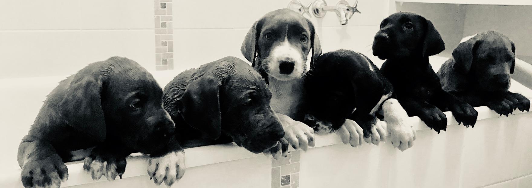 Vigoroso Danes M Litter in the bath