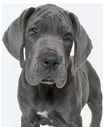 Vigoroso Danes blue puppy